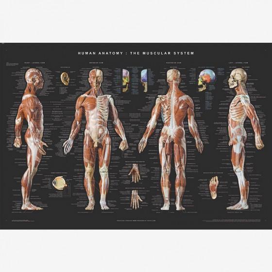 balanced body Human anatomy poster fra den intelligente krop