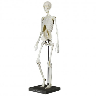 Anatomy + Movement™: Skeleton
