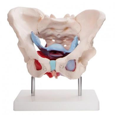 Bækken med muskler og organer (Kvinde)