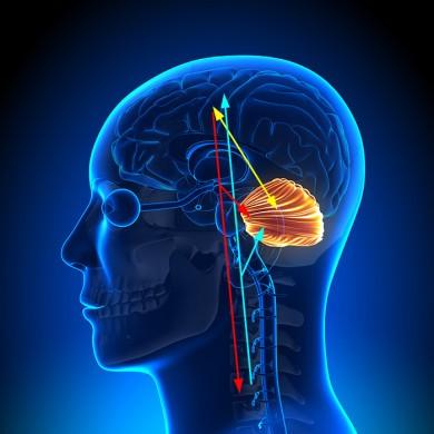 Funktionel neurologi for behandlere og trænere : Lillehjernen