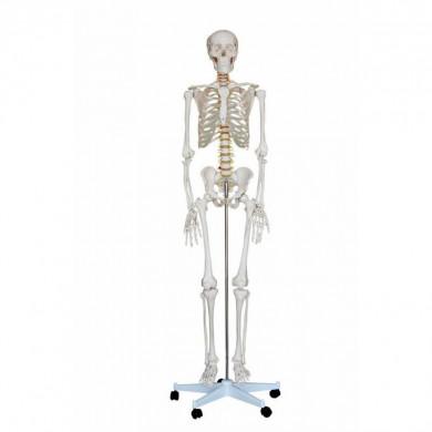 Skelet 170 cm. (Fuld størrelse)